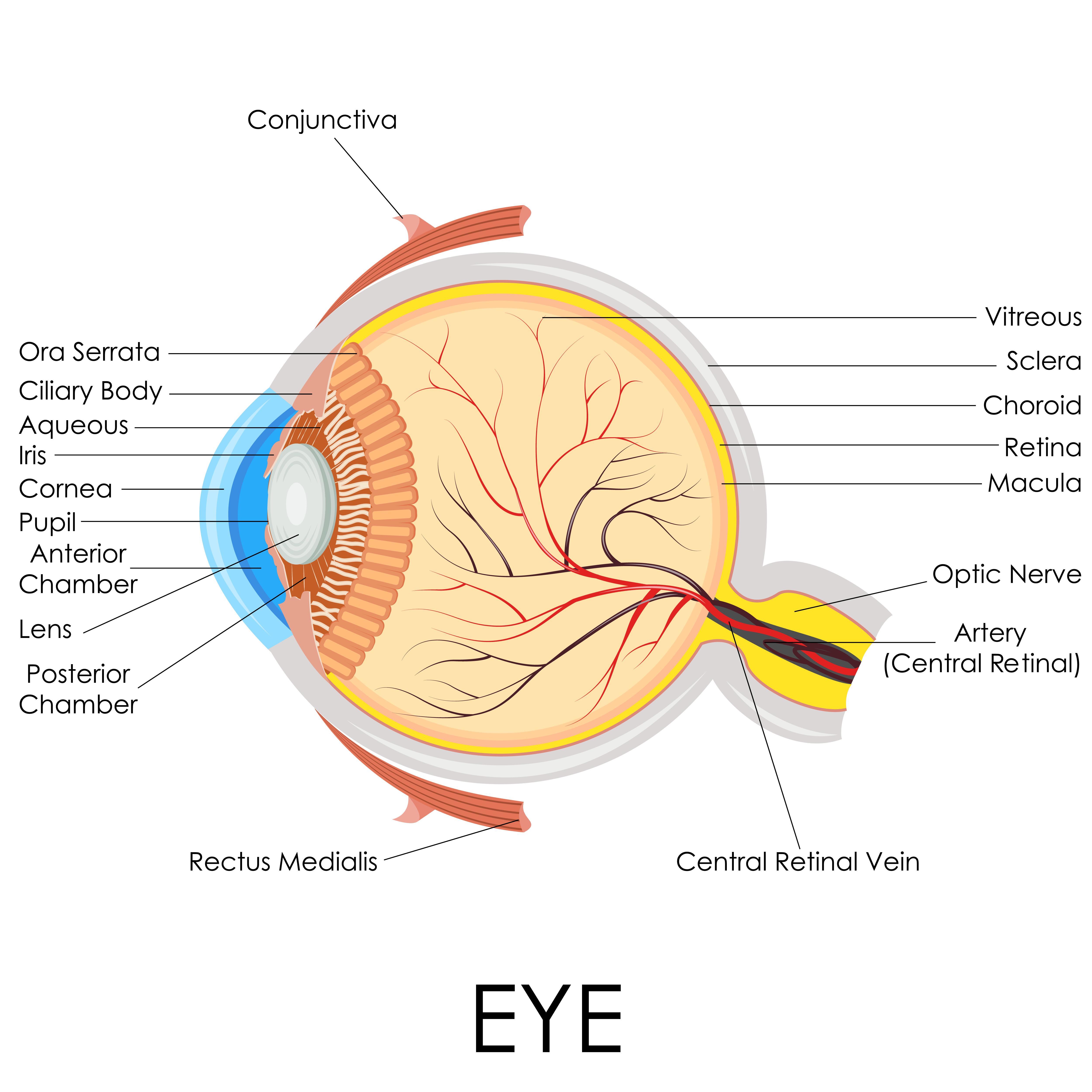 Human Eye Anatomy - Mr Shahram Kashani